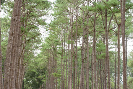 Pine in the green forest on northern Thailand