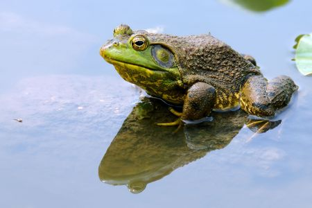 Frog resting in shallow water. Banco de Imagens
