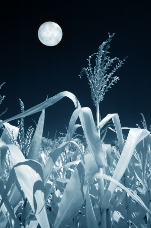 fresh pop corn: Field of corn and the moon in infrared. Stock Photo
