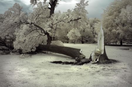gust: Tree damaged from strong winds in a major summer storm. Infrared.