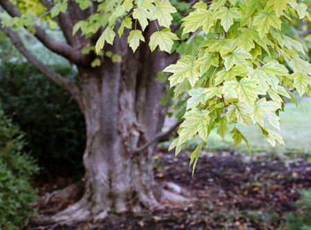 begining: Foglie cominciano a cambiare in autunno.  Archivio Fotografico