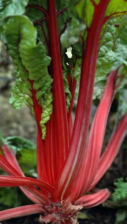Fresh colorful rhubarb growing in a garden.