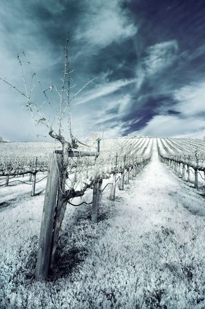 napa valley: Napa Valley vineyard in the winter in infrared.