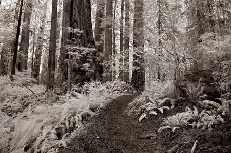 Trail through the redwood forest in infrared. photo