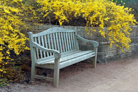 Park bench with forsythia blooming in spring.