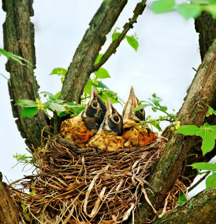 Three  robins in their nest looking up waiting for their mother. Stock Photo