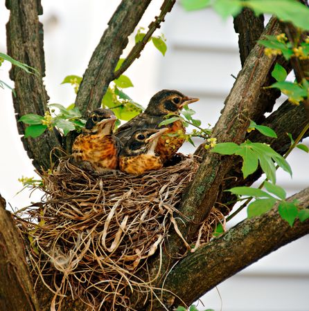 nesting: Three  robins in their nest waiting for their mother.