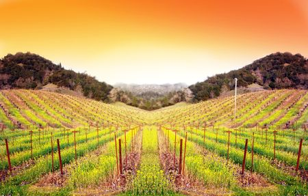 mustard: Vineyard at sunset in the winter time with mustard flowers blooming between the rows.
