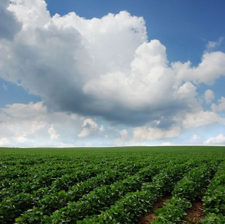 Rows of soy beans growing in South Dakota. Stock Photo