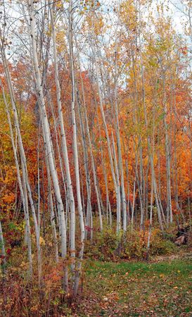 aspen grove: Autumn color in an aspen grove with maples. Stock Photo