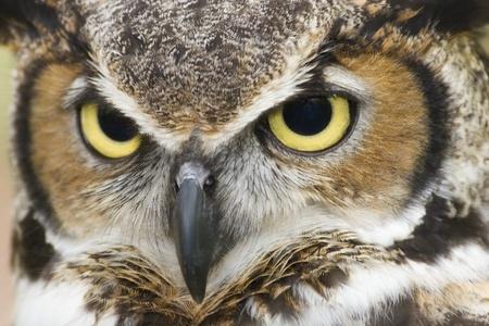 horned: Gran Horned Owl Head Shot Foto de archivo