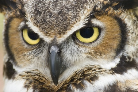 Great Horned Owl Head Shot photo