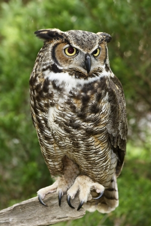 Great Horned Owl Standing on a Tree Limb