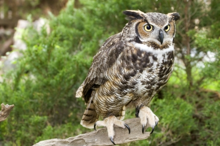 Great Horned Owl Standing in the Woods Stock Photo - 17131532