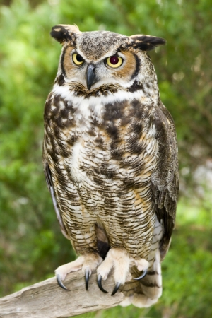 Great Horned Owl 免版税图像