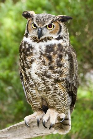 Great Horned Owl Stockfoto