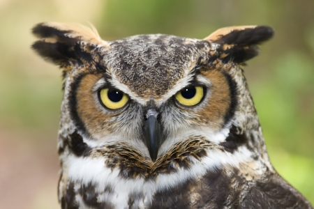 Great Horned Owl Headshot Stok Fotoğraf