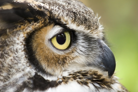 Great Horned Owl Headshot Side View photo