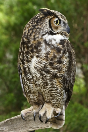 Owl in the Woods Stock Photo - 17131534