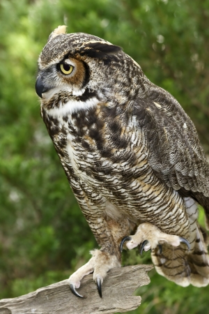 Great Horned Owl in the Woods Stock Photo - 17133181