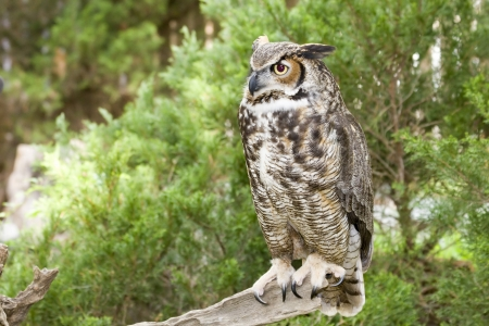 Great Horned Owl Standing on a Tree Limb Stock Photo - 17131535