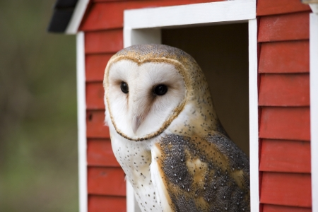 Barn Owl in a Red Barn photo