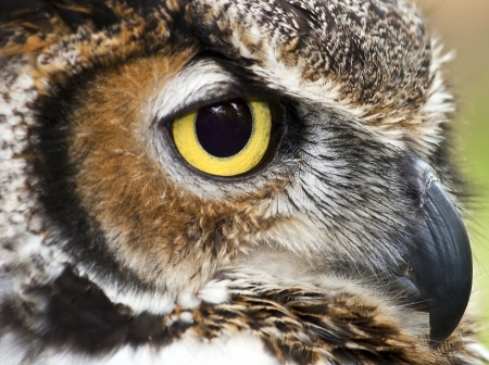 Great Horned Owl Stock Photo - 17134261