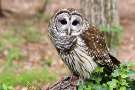 Barred Owl Stock Photo - 17152467