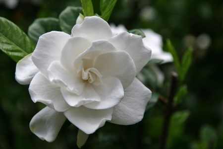 Gardenia Bloom Stock Photo - 17266803