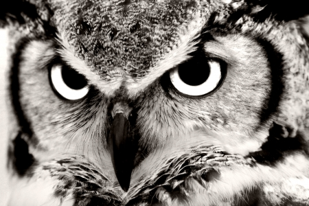 Black and White Great Horned Owl Closeup Stock Photo