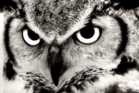 buhos y lechuzas: Blanco y negro Primer Gran Horned Owl
