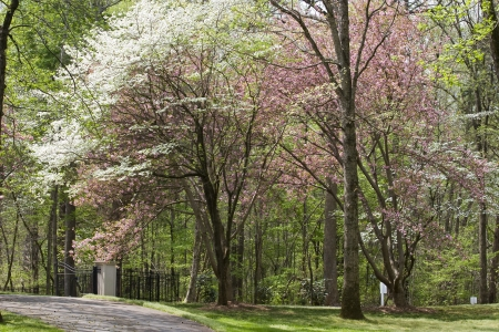 dogwood tree: Spring Driveway Blooms Stock Photo