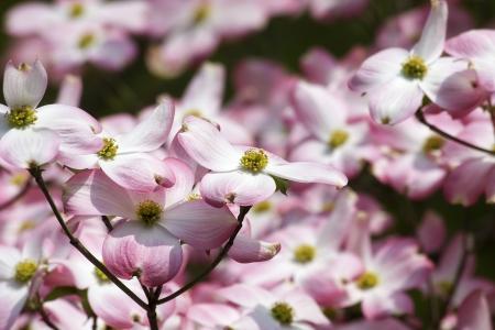Pink Dogwood Blooms Closeup Stock Photo