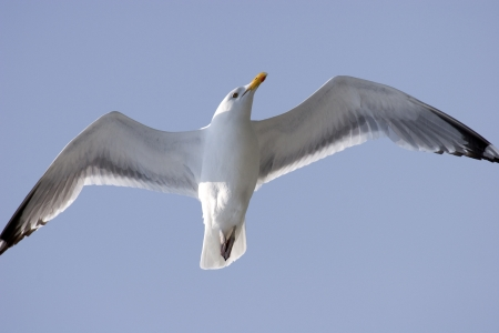 White Herring Seagull