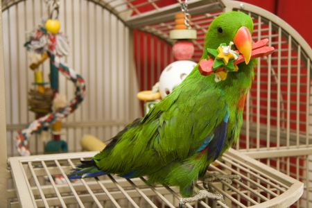 eclectus parrot: Eclectus Parrot Holding a Toy