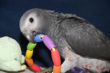 greys: Young African Grey with Ring Toy Stock Photo
