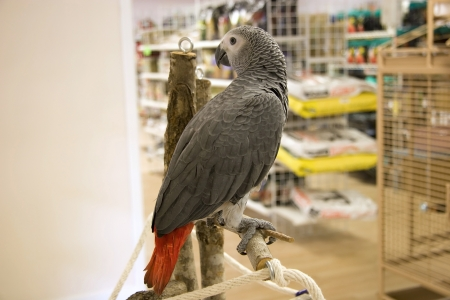 greys: African Grey in a Pet Store
