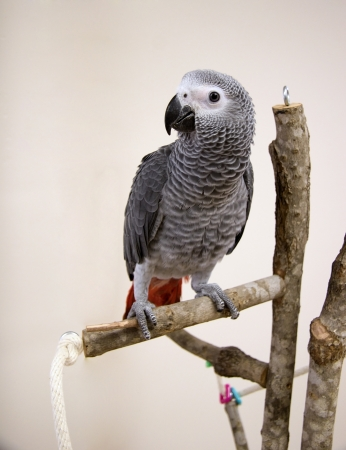 African Grey Stock Photo