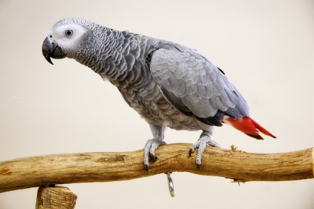 greys: African Grey Stock Photo