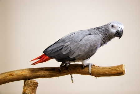 greys: African Grey Perched on Play Gym Stock Photo