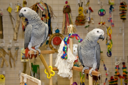 greys: Parrots  African Greys  Perched on Play Gym Stock Photo