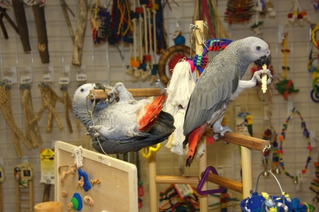 Parrots  African Greys  Playing Stock Photo