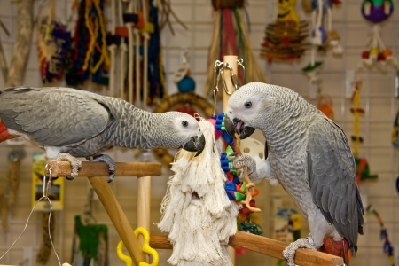 greys: Parrots  African Greys  Playing Stock Photo