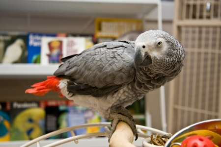 African Grey on Play Gym photo