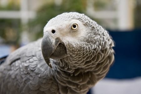 African Grey Parrot Closeup photo