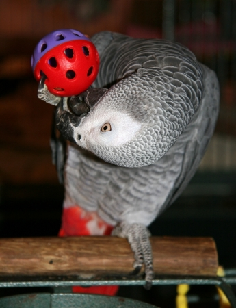 African Grey Playing with a Toy Ball Stock Photo - 17363054