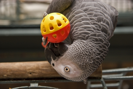African Grey Playing with a Toy Ball photo