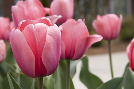 Pink Tulips for Spring Stock Photo - 17374174