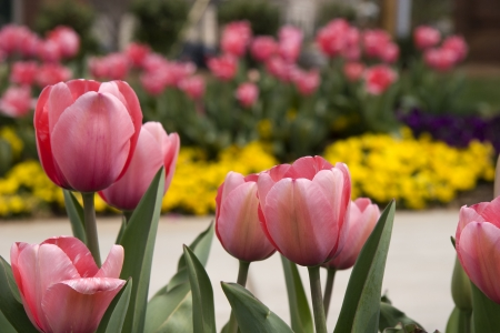 Pink Tulips Stock Photo - 17374167