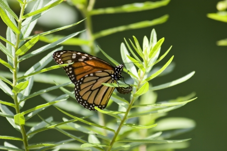 Monarch Laying Eggs in Milkweed 스톡 콘텐츠